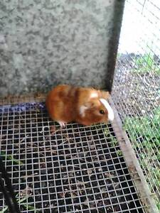 baby male guinea pig Windang Wollongong Area Preview