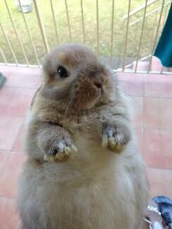 mini lop bunnies for sale Greenacre Bankstown Area Preview