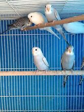 Baby Budgies Munno Para West Playford Area Preview