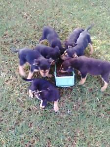 Working dog pups for sale- Kelpie/Huntaway cross Dirranbandi Balonne Area Preview
