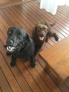 Loving Home: 2 Pure Bred Labradors Mitchelton Brisbane North West Preview