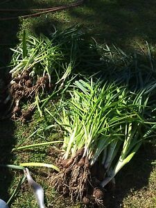 Bulbs Largs Bay Port Adelaide Area Preview