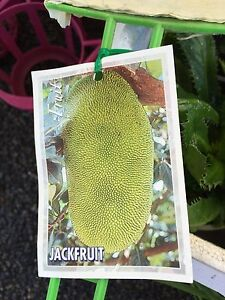 Jackfruit Trees/plants.   LARGEST FRUIT IN THE WORLD! Bull Creek Melville Area Preview