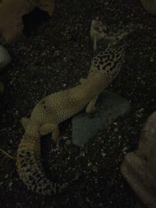 Leopard gecko (female)