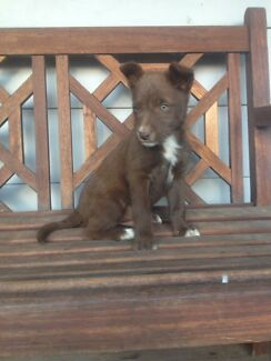 Kelpie X koolie puppies