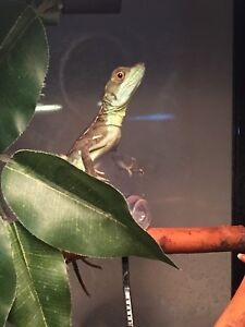 Captive bred green basilisks and enclosures available