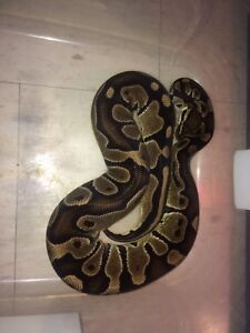 Reduced pattern male