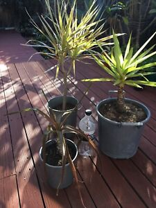 Plants x3 $20 firm Meadow Springs Mandurah Area Preview