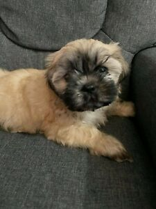 Maltese x shih tzu puppies for sale ONLY FEMALE IS LEFT