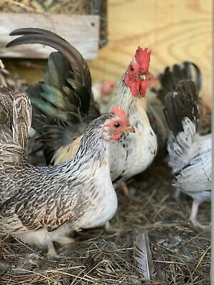 12 Bantam Assortment Chicken Hatching Eggs Npip