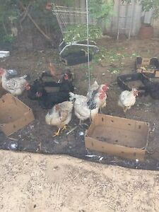 Chickens for sale Girrawheen Wanneroo Area Preview