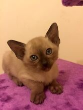 Tonkinese kitten Anna Bay Port Stephens Area Preview