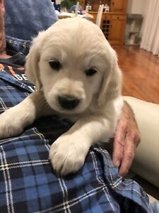 Gorgeous Purebred Golden Retriever Female Puppy Ready this weekend
