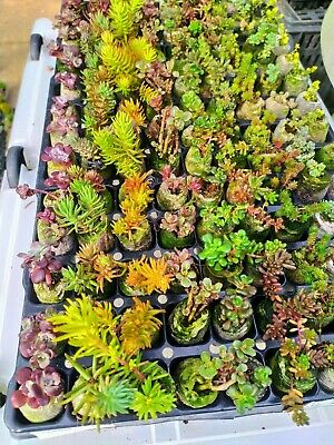 sedum garden succulents