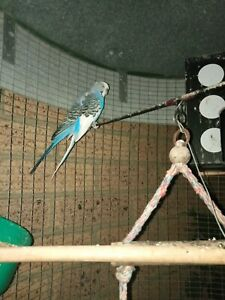 2 blue budgies and aviary -PENDING PICK UP
