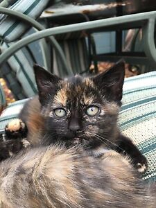 Tortoiseshell kittens Emu Plains Penrith Area Preview