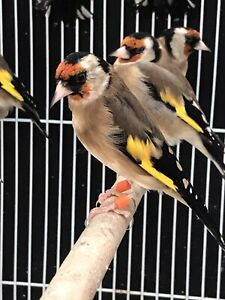 Goldfinches ..