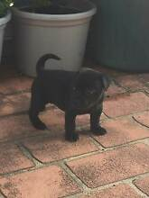 BLACK ENGLISH Staffy with main paper Prestons Liverpool Area Preview