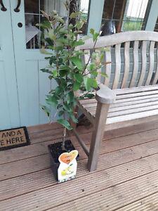 Dwarf Patio Golden Delicious Apple Tree In 5L Pot, Sweet Crunchy Dessert Apple