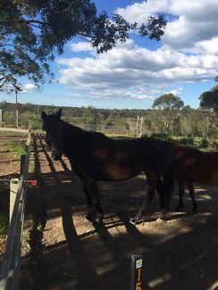 Black tb mare  Morisset Lake Macquarie Area Preview