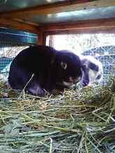 Male mini lop Dromana Mornington Peninsula Preview