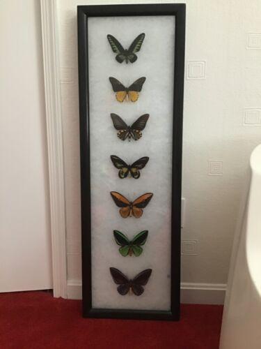Birdwing butterfly frame