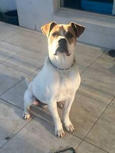 Pig dog for sale Rockhampton Rockhampton City Preview