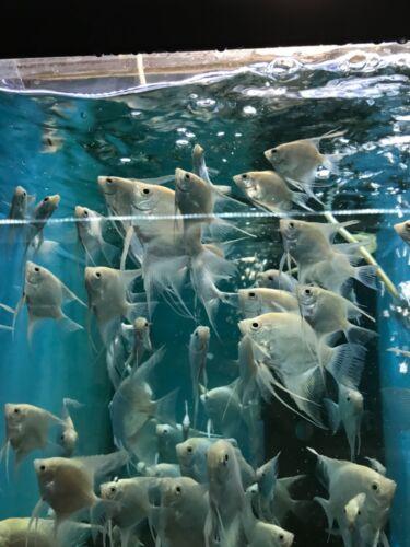 5 Platinum Angelfish