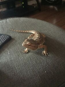 1 year old bearded dragon for sale