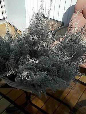 Silver King  Artemesia (Filler for Wreath or Arrang (Ship Free)  50 short stems
