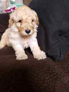 PURE BRED TOY POODLE BOY $1800 Garden Suburb Lake Macquarie Area Preview
