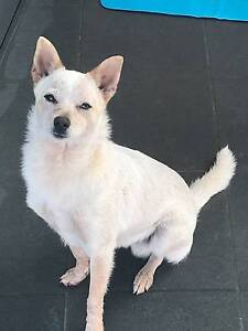 Crossbreed (Pomeranian x Chihuahua) 6 Months Old/fully Vaccinated Greenfield Park Fairfield Area Preview