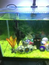 3 Angel fish FOR SALE! Wattle Grove Kalamunda Area Preview