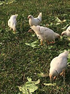 Chickens female white, browns and black $20 Pakenham Upper Cardinia Area Preview