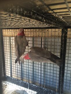 Breeding pair of galah $50 the pair  Campbelltown Campbelltown Area Preview