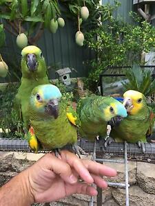 Amazon parrots various babies Seven Hills Blacktown Area Preview