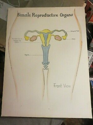 Vintage Female Reproductive System Anatomical Chart Front View On Board 20 X 15