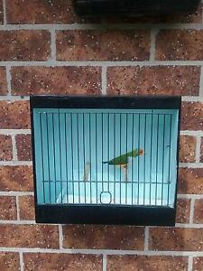 GOULDIAN FINCHES Blue Haven Wyong Area Preview
