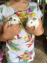 Female Guinea pigs and hutch Woodvale Joondalup Area Preview