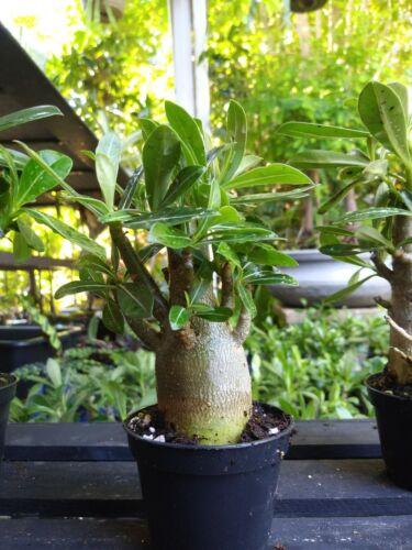 1 Desert Rose Plant/Adenium Obesum. Height 5-8 inches