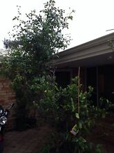 Huge rose bush for free! Willagee Melville Area Preview