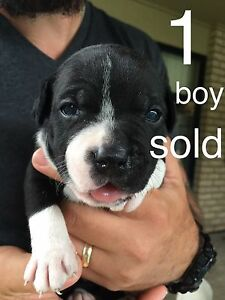 Purebred English Staffy pups Caboolture South Caboolture Area Preview