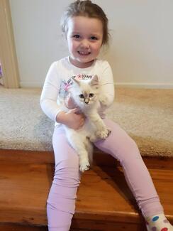Ragdoll kitten 12 weeks old urgent sale