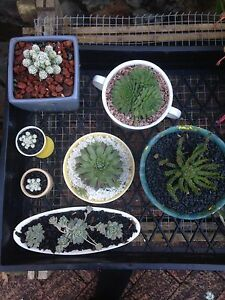 Decorative Succulents Terrigal Gosford Area Preview