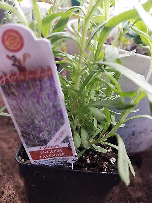 Lavender   English   1 Live Plant   Heavenly Herb  Groco Plants Usa
