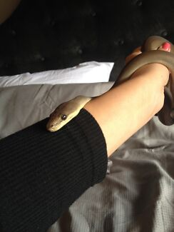 Olive Python For Sale Frankston Frankston Area Preview