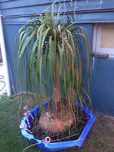 Pony tail palm Upper Mount Gravatt Brisbane South East Preview