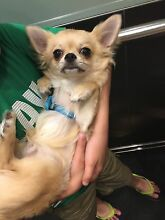 Pure breed chihuahua puppy with paper Alexandria Inner Sydney Preview