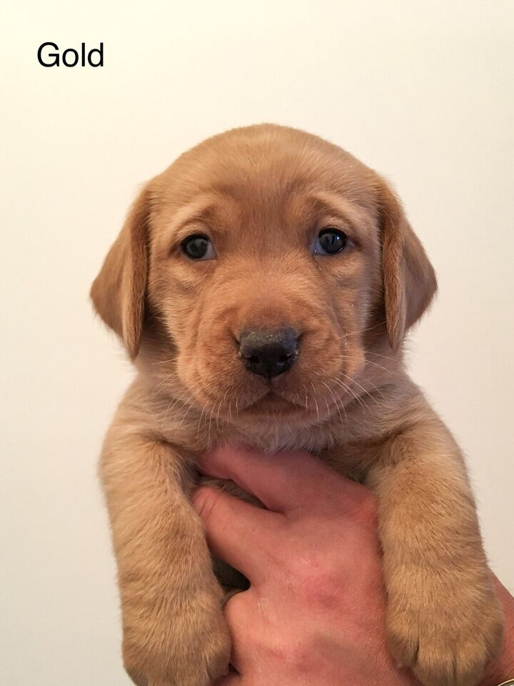 Puppies For Sale Red Fox Lab Dogs Puppies For Rehoming London