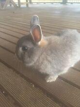 Netherland dwarf rabbit and cage Aberfoyle Park Morphett Vale Area Preview
